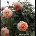 Саджанець Троянда Барок плетиста абрикосова, DekoPlant