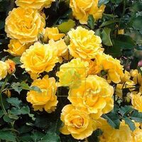 Троянда Фемелі Єллоу плетиста жовта, DekoPlant