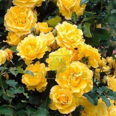 Саженец Роза Фемели Еллоу плетистая желтая, DekoPlant