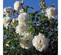 Роза Фемели Вайт плетистая белая, DekoPlant