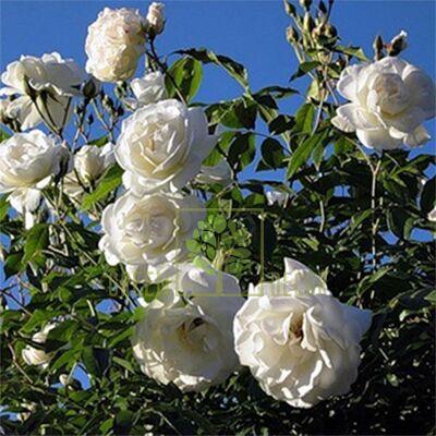 Саджанець Троянда Фемелі Вайт плетиста біла, DekoPlant