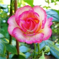Троянда Хендель плетиста біла з рожевою облямівкою, DekoPlant