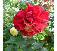 Роза Мушимара, плетистая кроваво-красная, DekoPlant