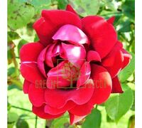 Роза Нахелглут плетистая темно-красная, DekoPlant