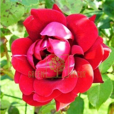 Саженец Роза Нахелглут плетистая темно-красная, DekoPlant