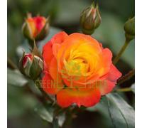 Роза Румба плетистая красно-желтая, DekoPlant