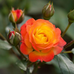 Саджанець Троянда Румба плетиста червоно-жовта, DekoPlant