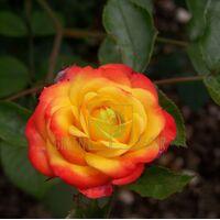 Роза Авеню оф Старз полиантовая красно-желтая, DekoPlant