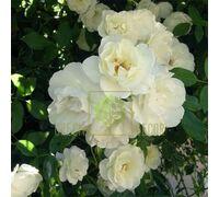 Роза Авеню Вайт полиантовая белая, DekoPlant