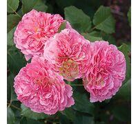 Роза Катарина Фрайла полиантовая коралово-розовая, DekoPlant