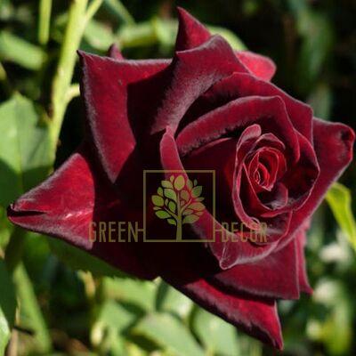 Саженец Роза Кларет Пикси темно-красная, DekoPlant