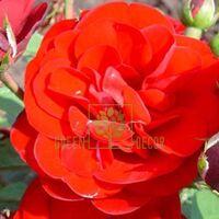 Роза Кордула полиантовая оранжево-красная, DekoPlant